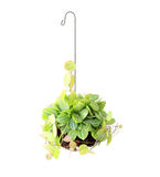 Hanging basket plant isolated on white Royalty Free Stock Photos