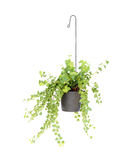 Hanging basket plant isolated on white Stock Images