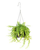 Hanging basket plant isolated on white Royalty Free Stock Image