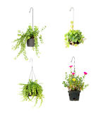 Hanging basket plant isolated on white Stock Photo