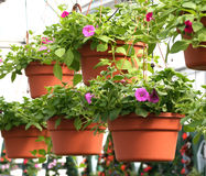 Hanging Baskets. Geranium hanging baskets in a greenhouse royalty free stock photography