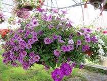 Hanging Baskets Filled With Colorful Flowers Royalty Free Stock Photo