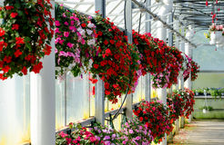 Hanging baskets of flowers Royalty Free Stock Photo