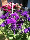 Hanging baskets full of petunias. Hanging baskets of petunias in bloom Stock Images