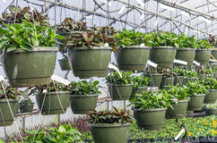 Hanging baskets growing in a greenhouse Stock Photos
