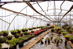Hanging baskets And Nursery Plants In A Hothouse Tunnel Stock Photos