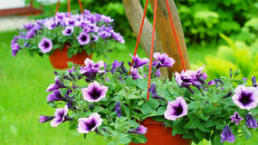Hanging baskets with a petunia flowers Royalty Free Stock Images