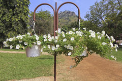 Hanging baskets with white petunia flowers hanging in a garden. Royalty Free Stock Image