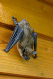 Hanging bat Stock Image