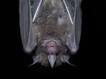 Hanging bat Royalty Free Stock Photo