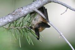 Hanging Bat. Myotis bat hanging from branch of pine tree Royalty Free Stock Image