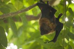 Hanging bat in green tree Royalty Free Stock Photos