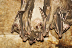 Hanging bats Royalty Free Stock Image