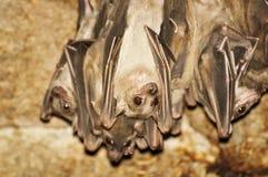Hanging bats Royalty Free Stock Image