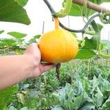 Hanging beautiful large pumpkin Royalty Free Stock Image