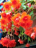 Hanging Begonia Stock Photos