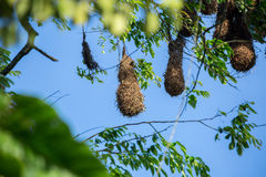 Hanging bird nests Stock Images