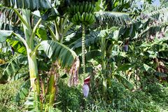 Hanging blossom and fruits on a banana palm royalty free stock image