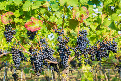 Hanging blue grape bunches in vineyard royalty free stock photo