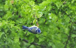 Hanging Bluetit (Cyanistes caeruleus) Stock Photo