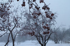 Hanging Branch Filled with Frozen Red Berries. Hanging branch with frozen and frosted red berries covered in hoarfrost Stock Photo