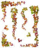 Hanging branches of autumn ivy Royalty Free Stock Photos