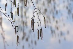 Hanging branches of birch with catkins on background sky in spring royalty free stock photography