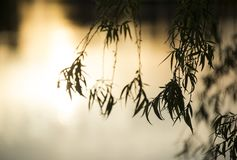 Close up of branches from a weeping willow. Hanging branches from a budding weeping willow in the glow of a sunset stock photography