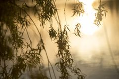 Close up of branches from a weeping willow. Hanging branches from a budding weeping willow in the glow of a sunset stock photo