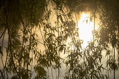 Close up of branches from a weeping willow. Hanging branches from a budding weeping willow in the glow of a sunset royalty free stock image
