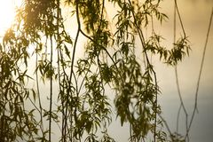 Close up of branches from a weeping willow. Hanging branches from a budding weeping willow in the glow of a sunset stock images