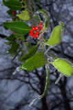 Hanging branches,red fruits and leaves into ice. Frozen red fruits of the evergreen shrub skimmia in the evening park. Skimmia is a multi evergreen shrub that royalty free stock photos