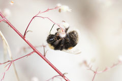 Hanging bumble bee royalty free stock images