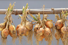 Hanging bunch of onion Royalty Free Stock Image
