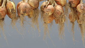 Hanging bunch of onion stock video footage