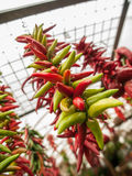 Hanging Bunch of Peppers Royalty Free Stock Photography