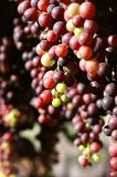Hanging bunches of grapes Royalty Free Stock Photography