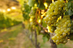 Hanging bunches of green wine grapes Royalty Free Stock Photo