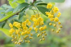 Hanging bunches of yellow flowers at branch outdoors closeup stock images