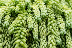 Hanging Burro`s Tail Succulent Plant. Hanging Burro's Tail succulent plant with long stems that are plaited with tear-dropped shaped leaves Royalty Free Stock Photos