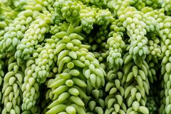 Hanging Burro`s Tail Succulent Plant. Hanging Burro's Tail succulent plant with long stems that are plaited with tear-dropped shaped leaves Stock Photo