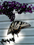 Hanging Butterfly. A Monarch butterfly hanging for a butterfly bush Royalty Free Stock Photo