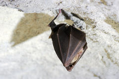 Hanging cave bat close-up Stock Images