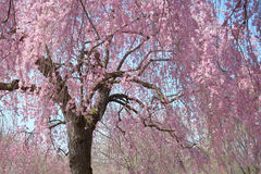 Hanging Cherry Blossom tree in full bloom. On a beautiful blue sky spring day stock photos