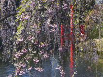 Hanging Cherry Blossoms Stock Images