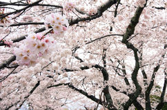 Hanging cherry tree branches heavy with countless white flower blossoms during spring in Japan Royalty Free Stock Photo