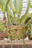 Hanging circle clay pots with orchid plants. Royalty Free Stock Image