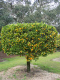 Hanging Citrus on Tree Royalty Free Stock Photo