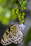 Hanging On. Close up of a Rice Paper Butterfly on flower buds Royalty Free Stock Photos