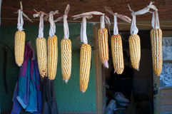 Hanging corn Royalty Free Stock Images